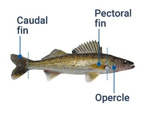 Image identifying the different fins on a fish.