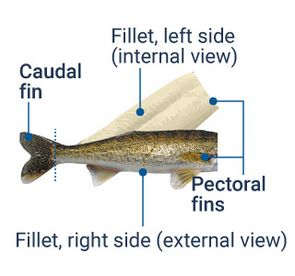 """Illustration of the """"wallet fillet"""" : on both fillets, the left side (internal view) and the right side (external view), the pectoral fins are kept in place. The fillets are still attached to the caudal fin."""