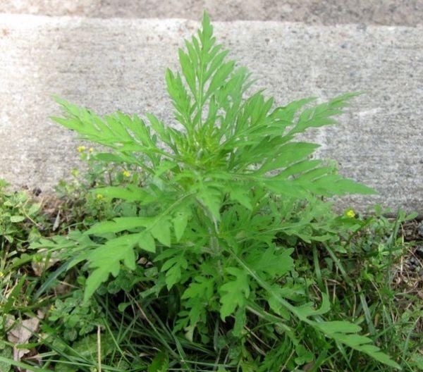 Plant au stade de croissance végétative
