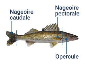 Identification des différentes parties du poisson: nageoire caudale, nageoire pectorale et opercule.