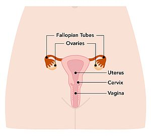 Diagram illustrating a uterus.