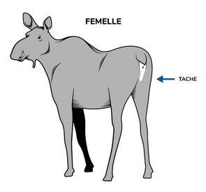 Illustration d'une femelle orignal positionnée de dos pour bien montrer la tache vulvaire qui la caractérise.