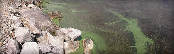 Photo d'algues bleu-vert