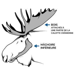 Illustration d'un orignal identifiant sa mâchoire inférieure et ses bois attachés à une partie de sa calotte cranienne.