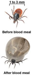 Ticks before and after blood meal.