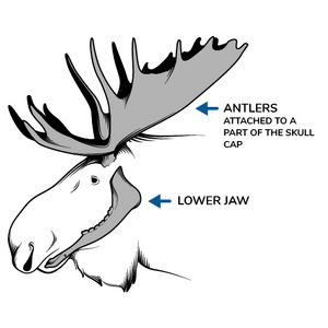 Picture of a moose identifying its lower jaw and antlers attached to a part of its skull cap.