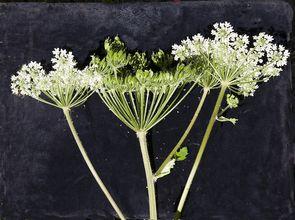 Fleurs de la berce laineuse.