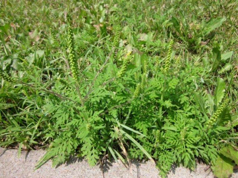 Colonie d'herbe à poux