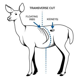 Picture of a white-tailed deer identifying its floating ribs and kidneys for the purpose of cross-sectioning.
