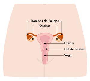 Schéma illustrant un utérus.