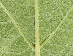 Envers des feuilles de la berce laineuse.