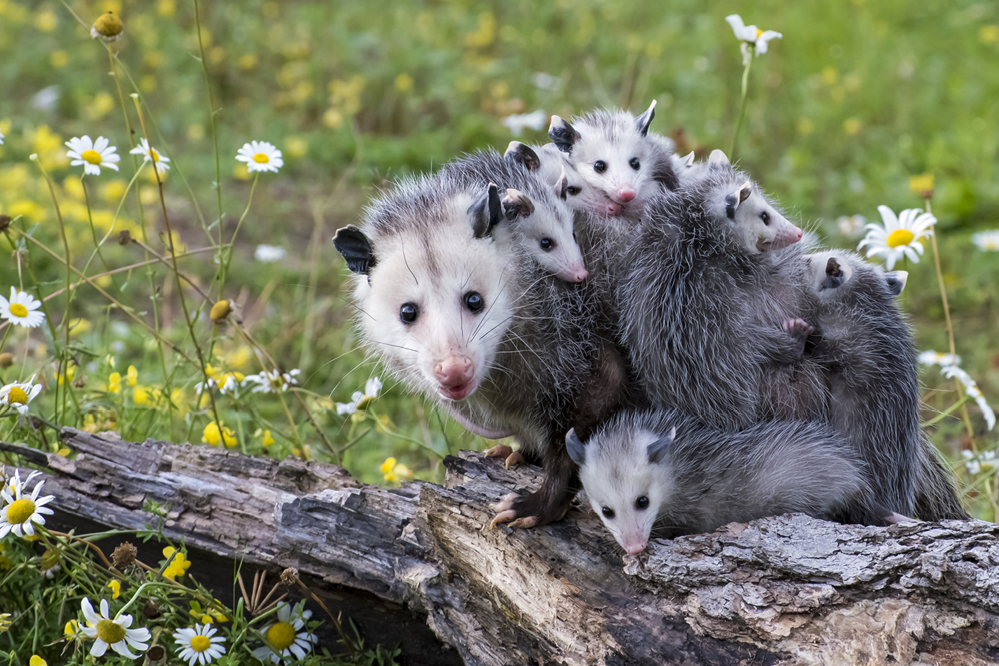 Une maman opossum avec ses petits.