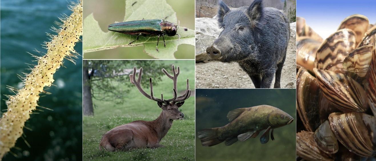Espèces exotiques envahissantes animales : cladocère épineux, cerf rouge, agrile du frêne, moules zébrées, sanglier et tanche.