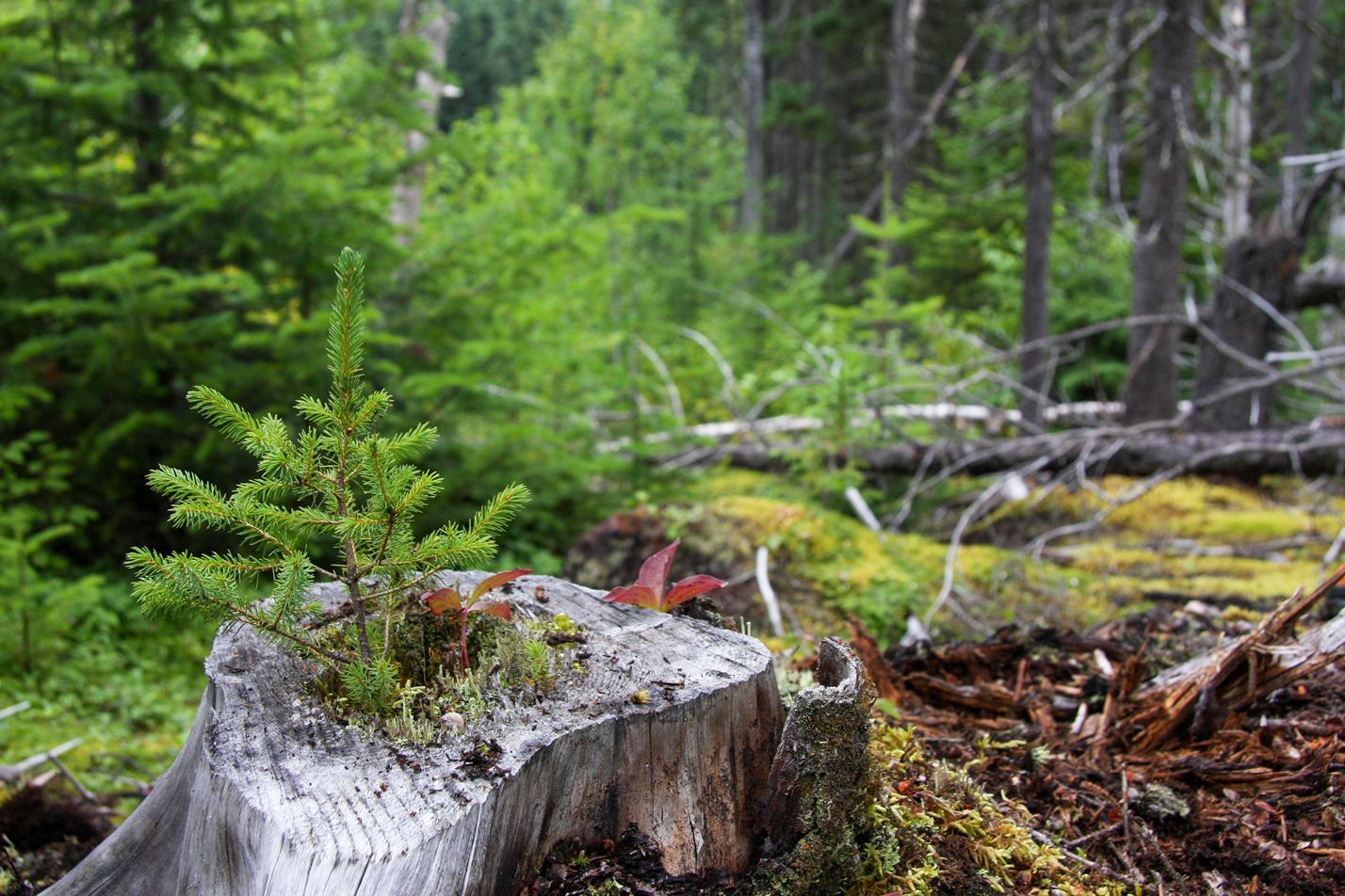 Pousse d'un conifère dans la forêt