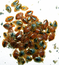 Grouping of bed bugs.