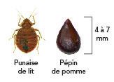 Comparaison de la taille d'une punaise de lit et d'un pépin de pomme (4 à 7 mm).